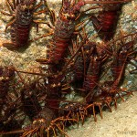 Lobsters crawling on rocks