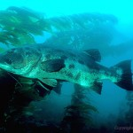 black Sea bass swimming around Kelp