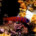 blue Banded Gobi on coral reef