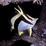 butterfly Fish in open waters