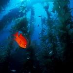 garibaldi In Kelp