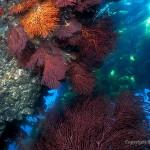 gorgonians Seafan Grotto
