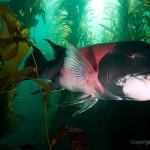 male Sheephead Wreck swimming through kelp