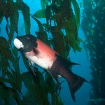 male Sheephead Kelp swimming