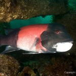 male Sheephead Wreck swimming through rocks