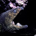 moray Eel in coral