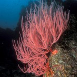 red Gorgonian Growing on Coral Reef